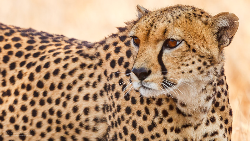 In the Eye of the Cheetah