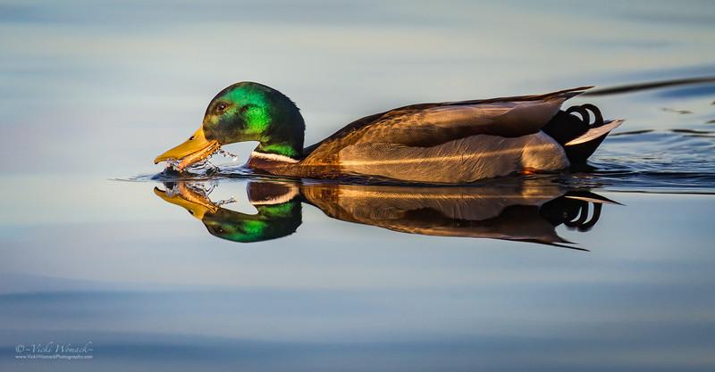Mallard Duck Reflection