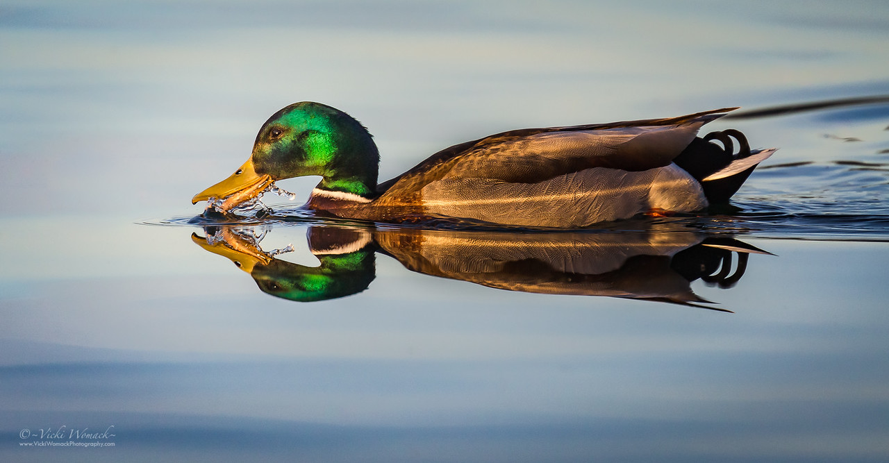 Mallard Duck Reflection