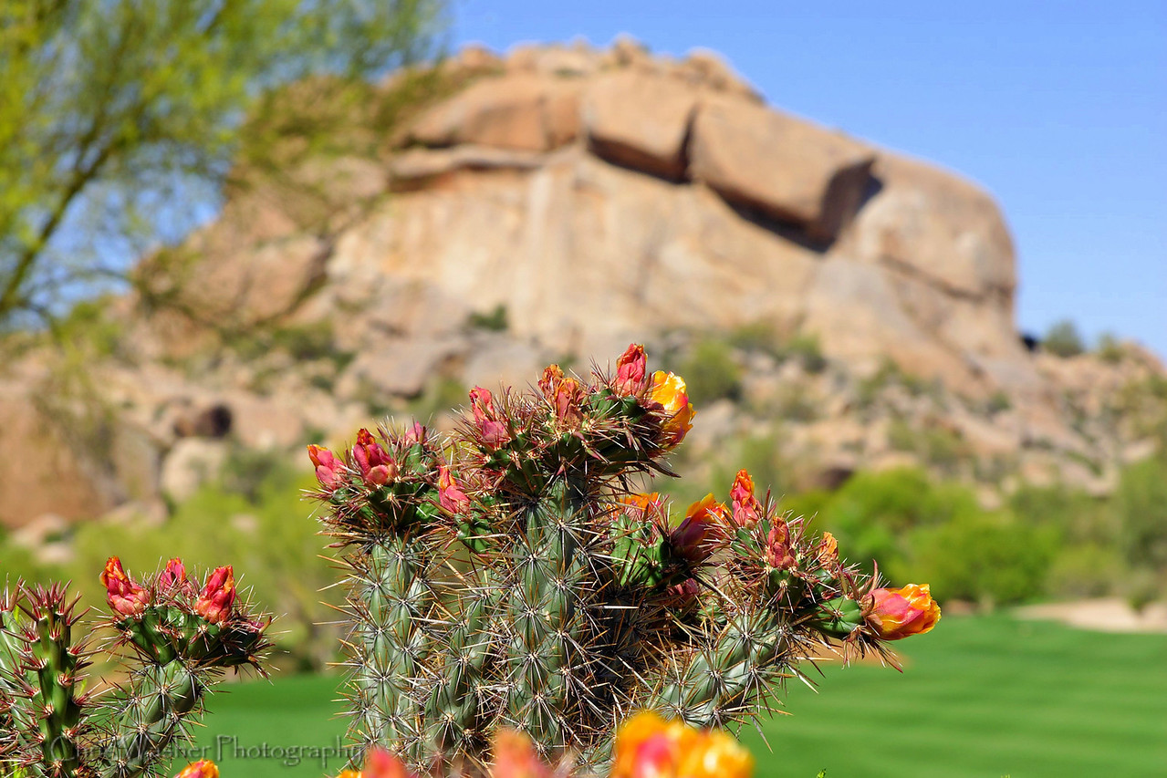 Cactus flowering in the spring, The Boulders, Arizona.