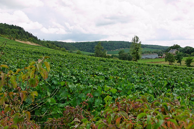 Grapevines in the Champagne region of France.