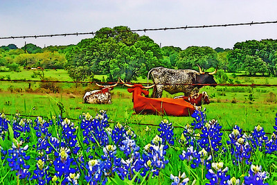 Bluebonnets and Longhorns