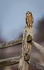 Owls-0333