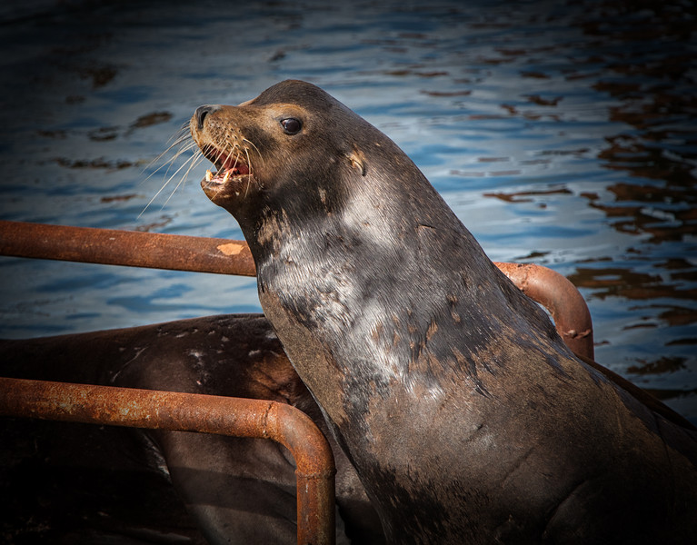 Sea Lion Smiling