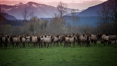 Large Elk Herd Early Morning Cascades Background