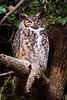 Owls-0671