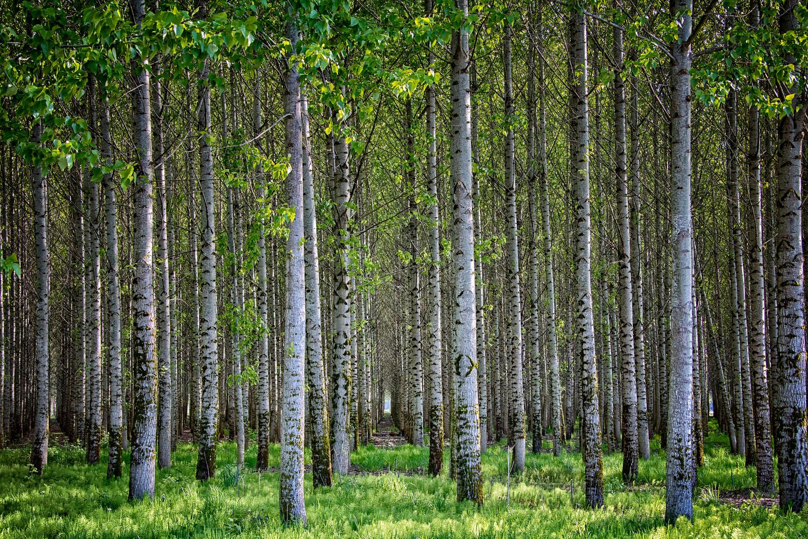 Chehalis Poplar Trees Tunnel