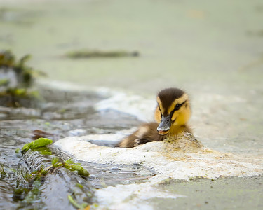 Duckling in Bubbles