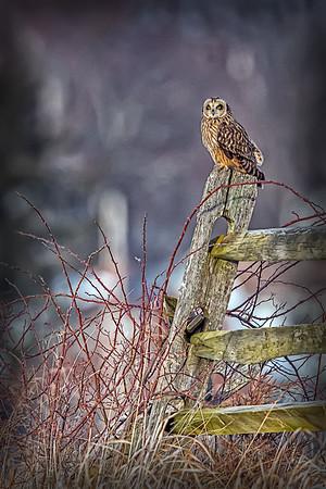 Owls-0522 Foegelle