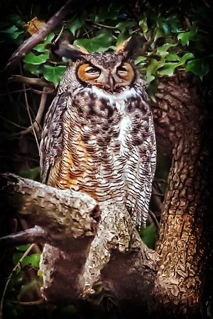 Owls-0671-Edit