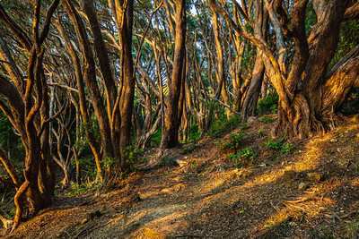 Sunrise in Pohutukawa forest on way to Shiva Beach