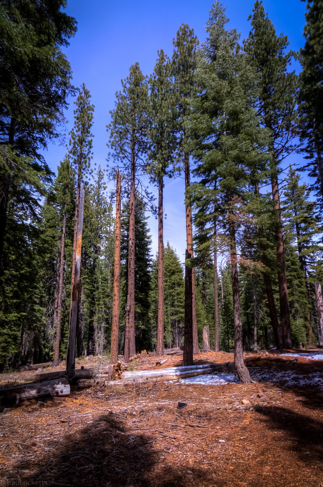 Trail through pine forest, Northstar, Tahoe, CA