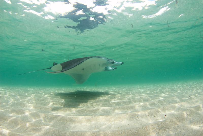 Skinny Water Manta Ray
