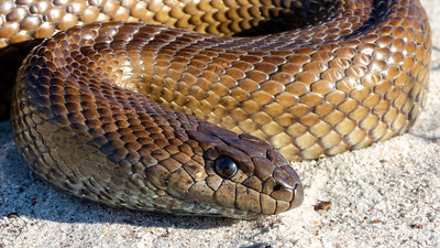 20190814 Mole Snake (Pseudaspis cana) from Sunset Beach, Western Cape