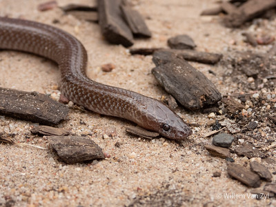 20191027 Wolf Snake (Lycophidion capense) from Koo, Western Cape