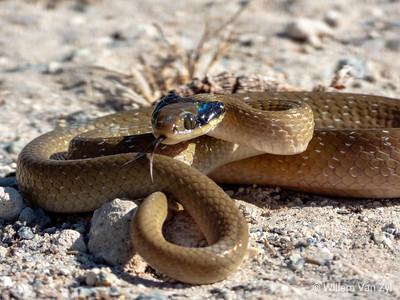 20200206 Herald Snake (Crotaphopeltis hotamboeia) from Durbanville, Western Cape