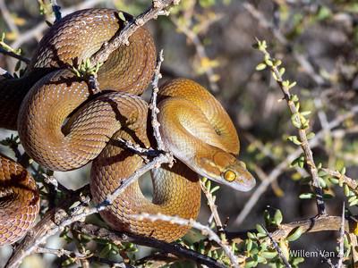 20201213 Bug-Eyed House Snake (Boaedon mentalis) from Vanrhynsdorp, Western Cape