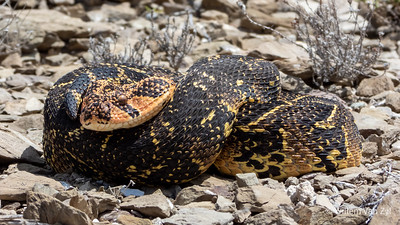 20191117 Puff Adder (Bitis arietans) from Montagu, Western Cape