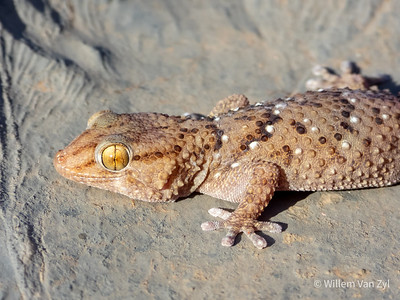 20201215 Bibron's Thick-toed Gecko (Chrondrodactylus bibronii) from The Richtersveld, Northern Cape