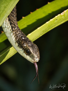 20210522 Boomslang (Dispholidus typus) from Cape Town, Western Cape