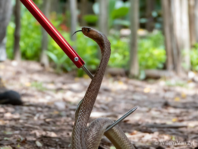 20191027 Cape Cobra (Naja nivea) from Stellenbosch, Western Cape