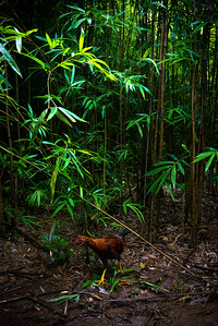 Yellow footed Rooster