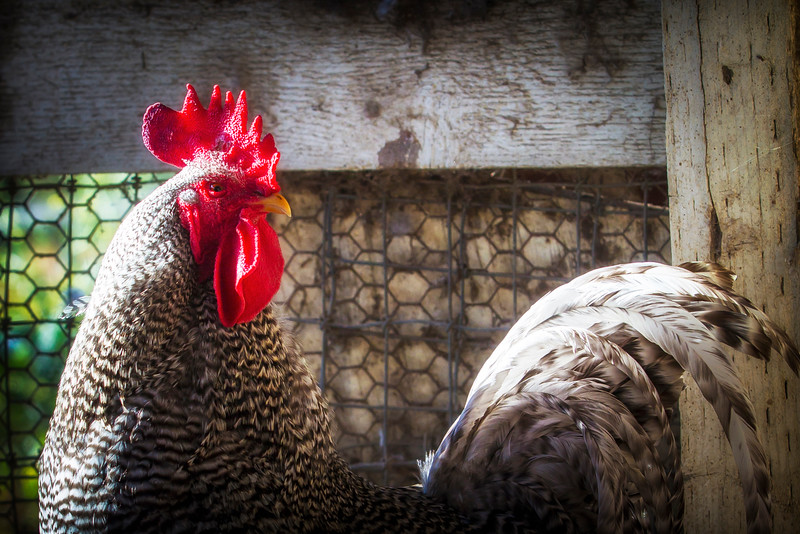 Rooster_2015_5511