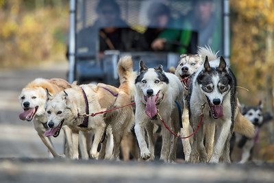 At the Mukluk Adventure's, near Whitehorse, dogs pull an atv full tourists on local dog mushing trails, during the fall. It gives them a chance to exercise the dogs and an opportunity for the tourists to have a taste of the dog mushing experience.