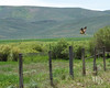 Hawk over fence