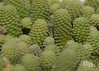 Crassulaceae. Monanthes amydros. Canary Islands