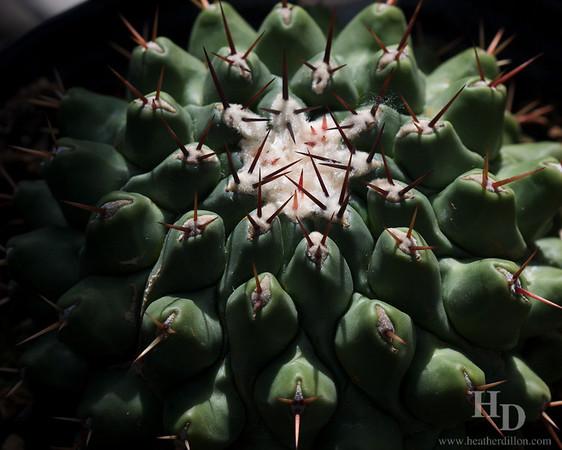 Thelocactus rinconensis. Mexico