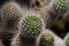 Rebutia fiebrigii. Bolivia