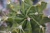Astrophytum ornatum. Mexico