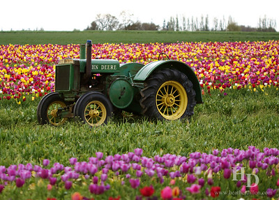 2012-04 Tulips
