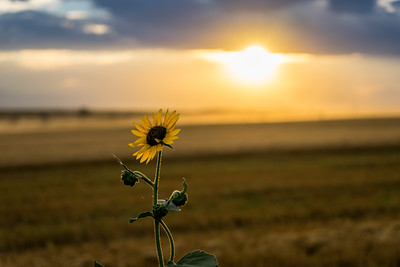 Wild Sunflower by DIA