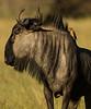 Wildebeest (Gnu)