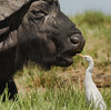 Cape Buffalo (and helper)
