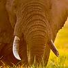 Elephant Close Encounter