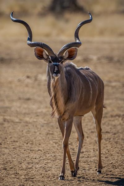 Mature Kudu