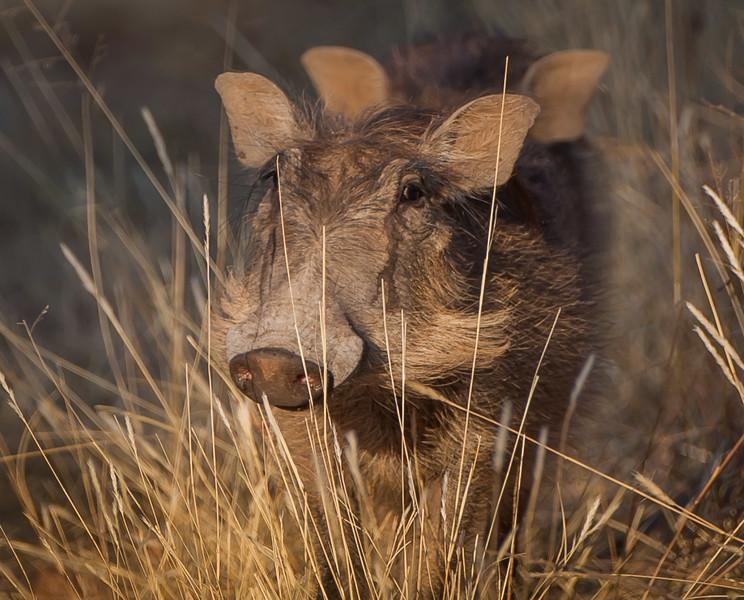 Juvenile Warthogs