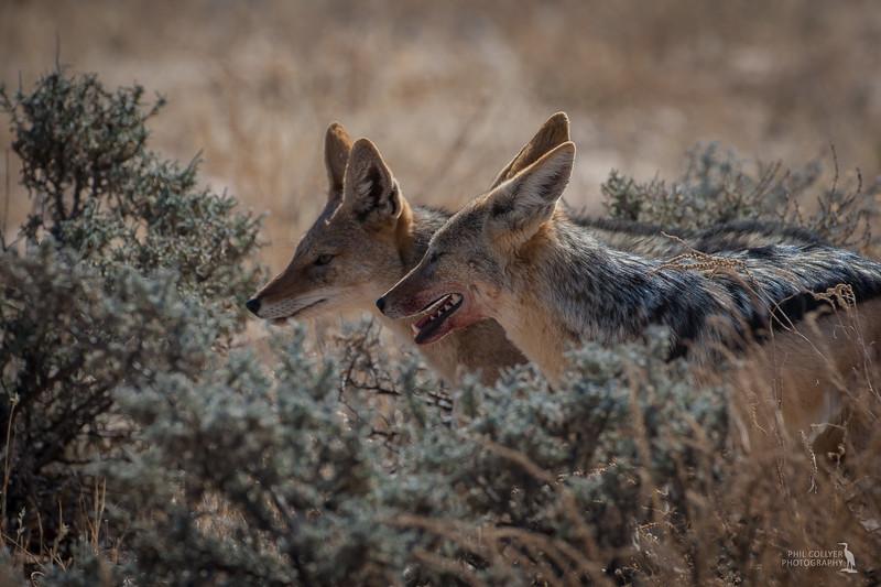 Jackals hunting
