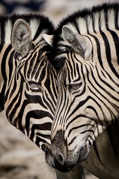 Twin Zebra