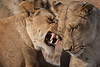 Lioness affection