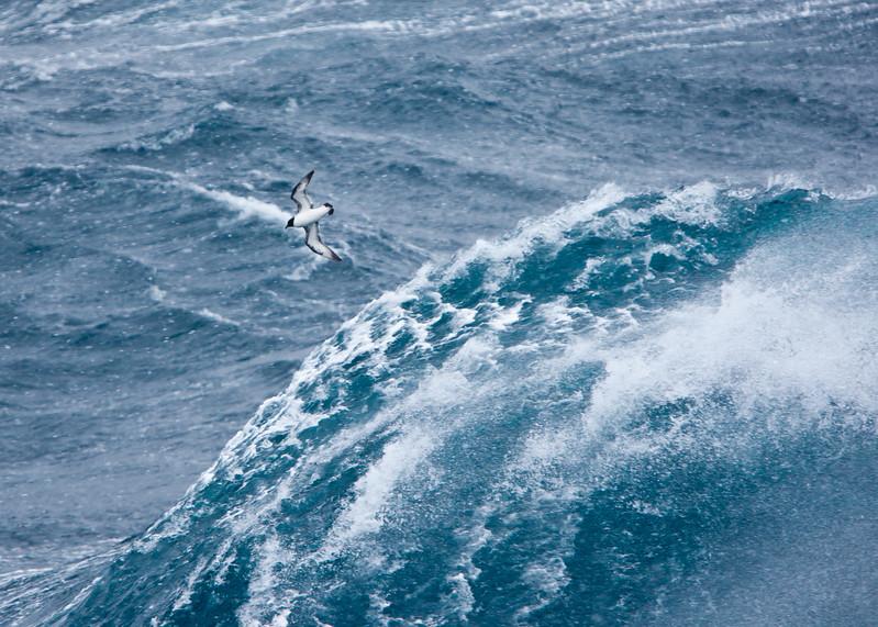 Pintado Petrel in Drake Passage