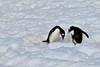 Gentoo Courtship