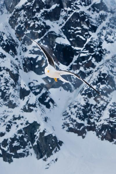 Antarctic Seagull