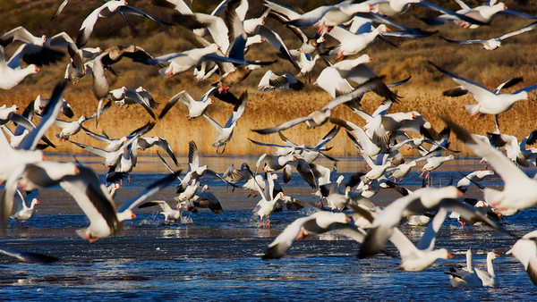 Snowgeese Take-off