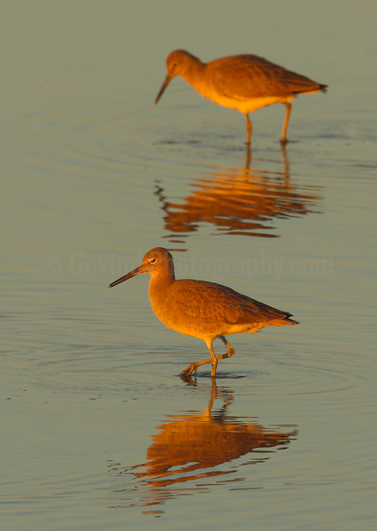 Willets at Sundown