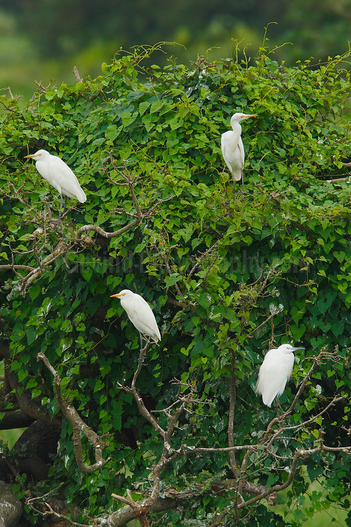 Four corners: Cattle and Little Egrets