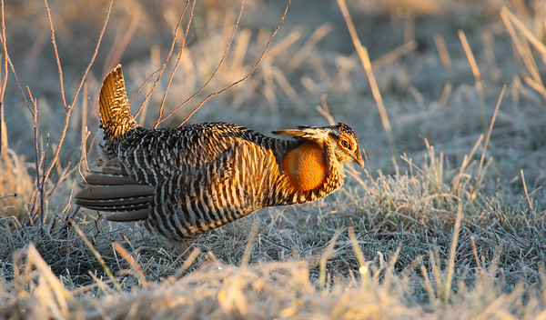 Greater Prairie Chicken at a Lek